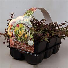 Picture of Lonicera crassifolia Little Honey