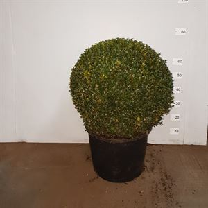 Picture of Buxus ball 50cm
