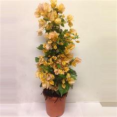 Picture of Bougainvillea Sanderiana pyramid yellow