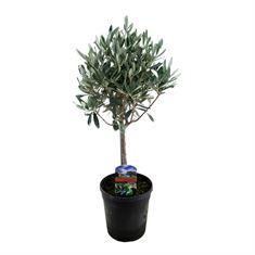 Picture of Olea europaea