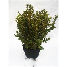 Picture of Buxus microphylla Golden Triumph bush