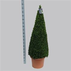 Picture of Buxus semp. pyr.140-150 50/TC40