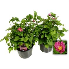 Picture of Anemone Bowles Pink