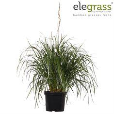 Picture of Calamagrostis x Karl Foester