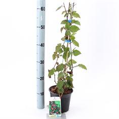 Picture of Rubus fruticosus Thornfree