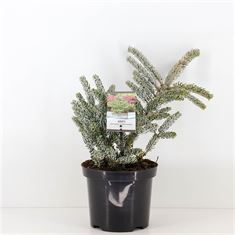 Picture of Abies koreana Silberlocke