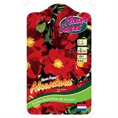 Picture of Rosa Alcantara - 60 Stem - Flower Carpet