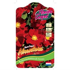 Picture of Rosa Alcantara - 90 Stem - Flower Carpet