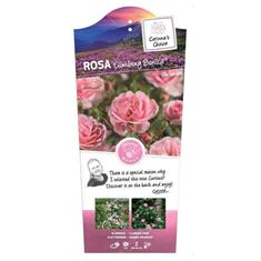 Picture of Rosa Climbing Bonica - Climber - C3rp - Exclusive Collection