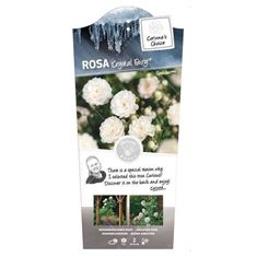 Picture of Rosa Crystal Fairy - 60 Stem - Basic Collection
