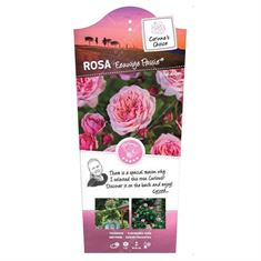 Picture of Rosa Eeuwige Passie - bush - C3rp - Category 4