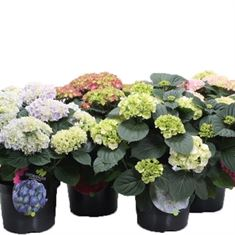 Picture of Hydrangea macrophylla mix