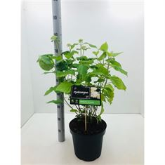 Picture of Hydrangea arborescens Annabelle