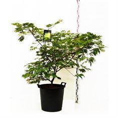 Picture of Acer japonicum Aconitifolium
