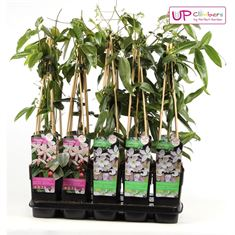Picture of Clematis evergreen mix tray