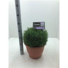 Picture of Lavandula angustifolia Munstead