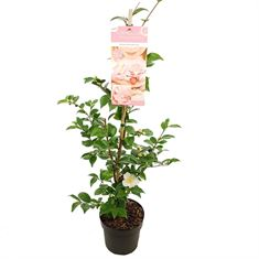 Picture of Camellia jap. Winter Perfume Pink