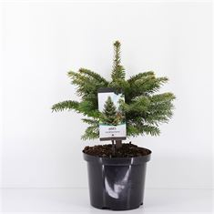 Picture of Abies nordmanniana