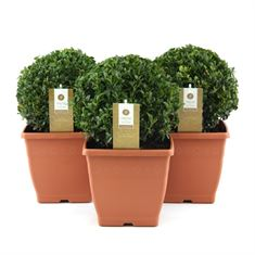 Picture of Buxus 20+ cm. ball (square pot)