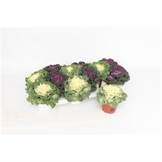 Picture of Brassica Krul