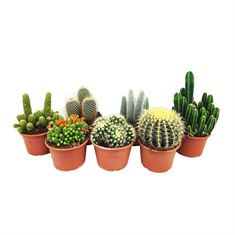 Picture of Cactus mix