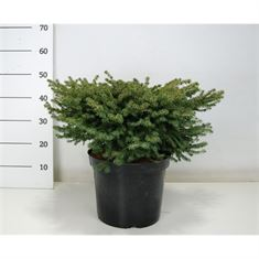 Picture of Picea abies Nidiformis