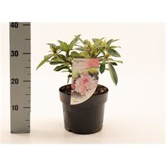 Picture of Rhododendron (Y) Dreamland