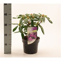 Picture of Rhododendron Alfred