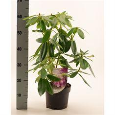 Picture of Rhododendron Catawb. Grandiflora