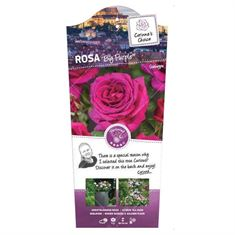 Picture of Rosa Big Purple - Struik - C3rp - Categorie 3