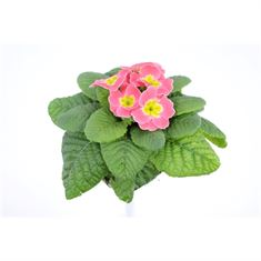 Picture of Primula acaulis candy baby pink