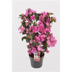 Picture of Bougainvillea Sanderiana Jolanda on trelis pink