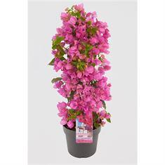 Picture of Bougainvillea Sanderiana pyramid pink