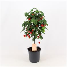 Picture of Abutilon Big Bell