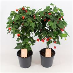 Picture of Abutilon in vars