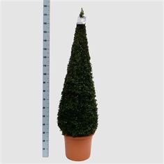 Picture of Buxus semp. pyr.140-150 40/TC24
