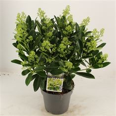 Picture of Skimmia jap. Finchy