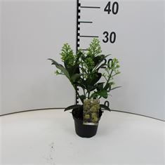 Picture of Skimmia jap Finchy  10,5cm  4-5 flowers
