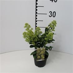 Picture of Skimmia jap Finchy  10,5cm  6+ flowers