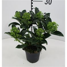 Picture of Skimmia jap White Globe 10,5cm 6+ flowers