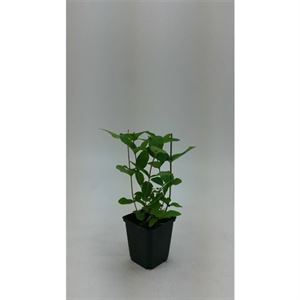 Picture of Hypericum i. annebel