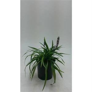 Picture of Liriope muscari big blue