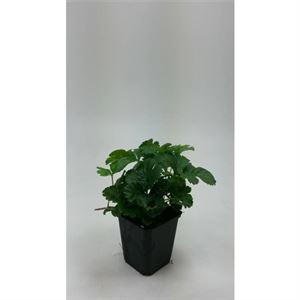 Picture of Waldsteinia ternata