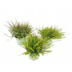 Bild von Erica Darleyensis in varieties