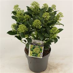 Picture of Skimmia jap. Fragrant Cloud
