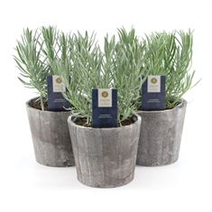 Picture of Lavandula ang. -collection p12 in wooden cone