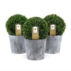 Picture of Buxus 20 cm. ball p17 in wooden cone