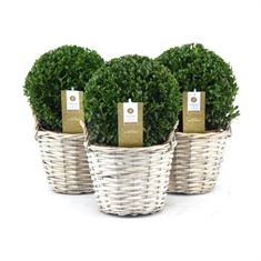 Picture of Buxus 20 cm. ball p17 in rush basket