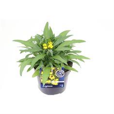Picture of Erysimum erysistible yellow