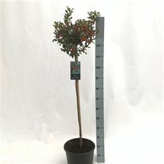 Picture of Ilex aquifolium Blue Maid stem 100 cm